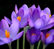 Crocus by lynn carter