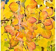 Fall Aspen Leaves by Amy McDaniel