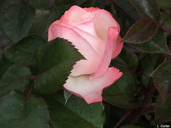 Budding Rose by lynn carter