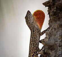 Brown Anole by Adam Northam