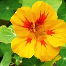 Yellow nasturtium by Agnes McGuinness