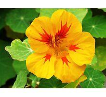 Yellow nasturtium Photographic Print
