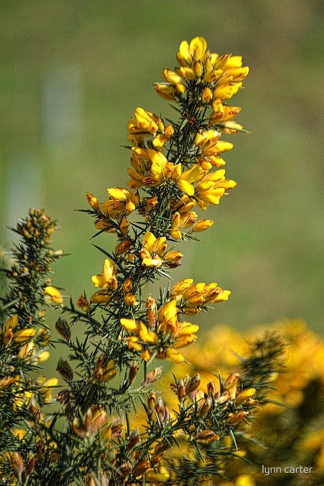 Bright Yellow Gorse by lynn carter