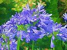 Agapanthus  Flowers by lynn carter