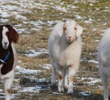 The Three Goats Sticker