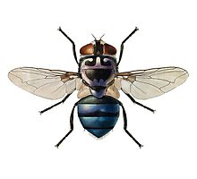The Blow Fly Photographic Print