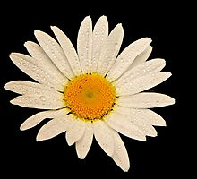 Simply Daisy by John Butler