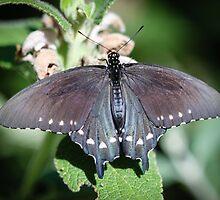 Spicebush Swallowtail Papilio Troilus by Henrik Lehnerer