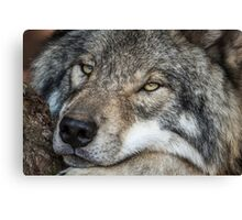 Timber Wolf - Closeup Canvas Print