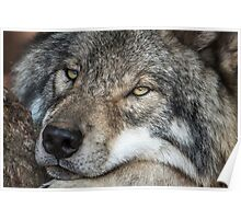Timber Wolf - Closeup Poster