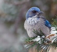 Western Scrub-Jay on snowy branch by Eivor Kuchta