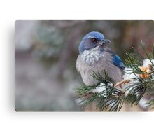 Western Scrub-Jay on snowy branch Canvas Print
