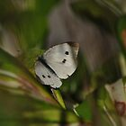 White Cabbage Butterfly by goddarb