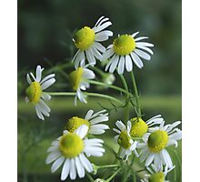 Chamomile in bloom; Lets Have Tea! Photographic Print