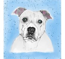 Blue the Staffy Photographic Print