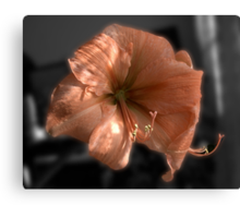 Peach Amaryllis Canvas Print
