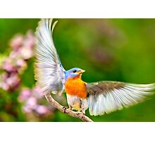 Eastern Bluebird Light as a Feather Photographic Print