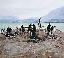 Gentoo Penguin Rookery on Trinity Island, Antarctica by Carole-Anne