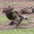 White-Backed Vulture (Gyps africanus) by Yair Karelic