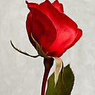 One red rose by Celeste Mookherjee