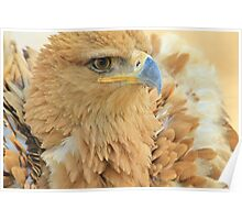 Tawny Eagle Anger - Wildlife Humor Poster