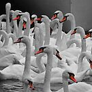 Selective Swans of Stratford on Avon by Yampimon