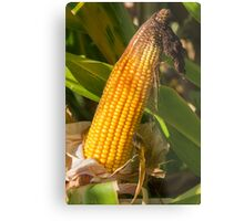 field planted with corn on the cob Metal Print