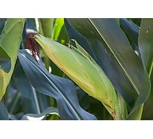 field planted with corn on the cob Photographic Print