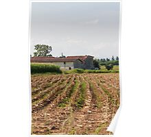 field planted with corn on the cob Poster