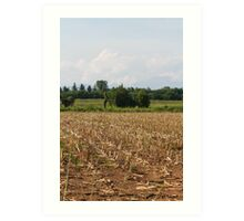 field planted with corn on the cob Art Print