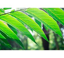 Branch ailanthus with narrow leaves Photographic Print