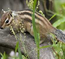 Chipmunk Capers by Mark Elshout