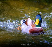 Swimmy Duck by Nigel Finn