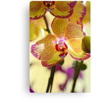 Delightfully Delicate Moth Orchid Canvas Print
