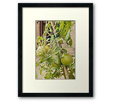 tomatoes in the garden Framed Print