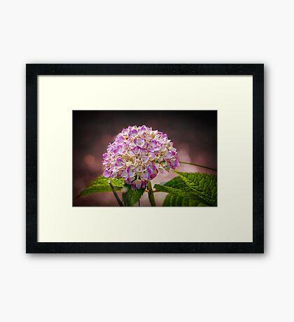 Hydrangea - textured Framed Print