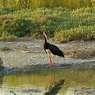 Black Stork on Lesvos by Sue Robinson