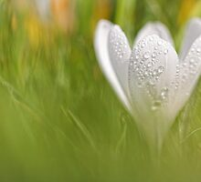 Wonderful wet white Crocus... by Bob Daalder