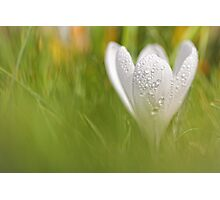 Wonderful wet white Crocus... Photographic Print