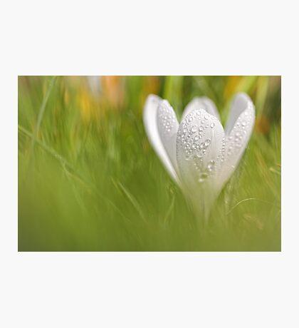 Wonderful wet white Crocus... Photographic Print