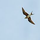 Collared Pratincole by Sue Robinson