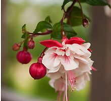 Fuchsia Flower by Marta Jonina