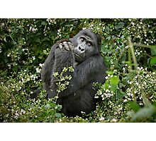 mountain gorilla, Uganda Photographic Print
