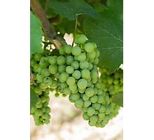 grape and vineyard in spring Photographic Print