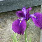 Pretty Iris by Kenneth Hoffman