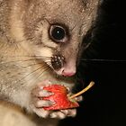 Fearless the possum by Denzil