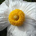 Fried Egg Flower: Romneya by John Gaffen