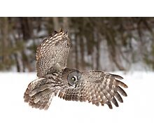 Great grey owl in flight over a snow covered field Photographic Print
