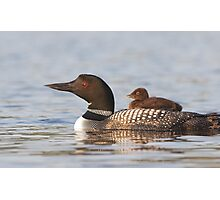 Common loon swimming with chick on her back Photographic Print