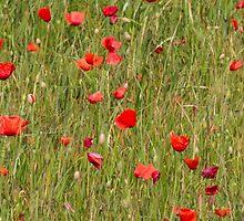 poppy in spring by spetenfia